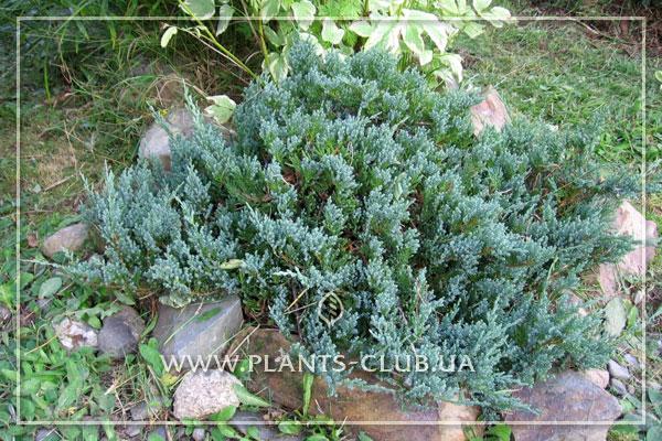 p-32179-juniperus-horizontalis-'blue-chip'.jpg