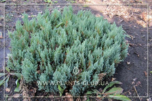 p-32195-juniperus-horizontalis-`blue-forest`.jpg