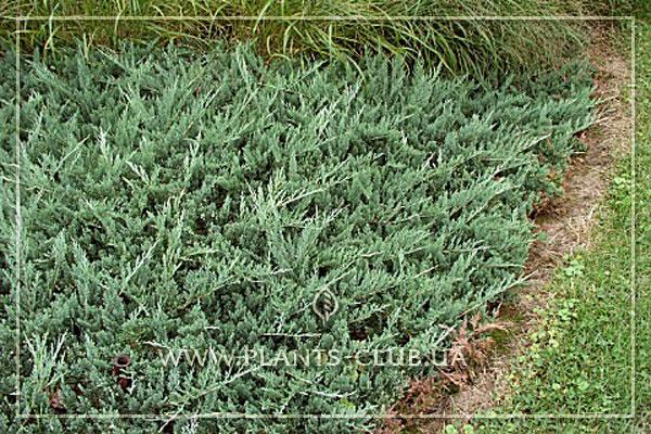 p-32200-juniperus-horizontalis-'douglasii'.jpg