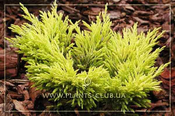 p-32220-juniperus-horizontalis-'lime-glow'.jpg