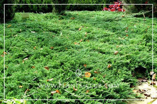 p-32231-juniperus-horizontalis-'prince-of-wales'.jpg