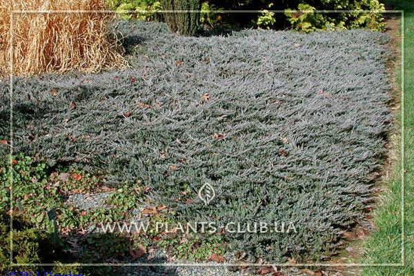 p-32244-juniperus-horizontalis-prostrata.jpg