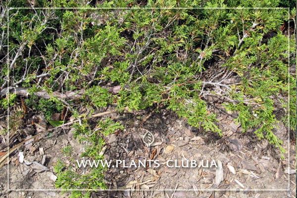 p-32248-juniperus-horizontalis-turquoise-spreade.jpg