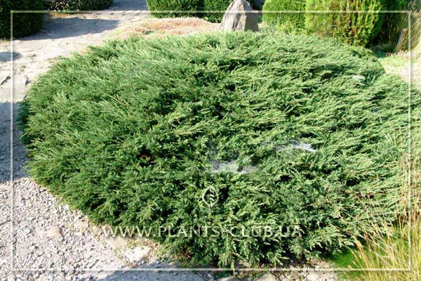 p-32261-juniperus-horizontalis-'yukon-belle'.jpg