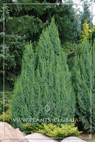 p-32274-juniperus-pingii-'loderi'.jpg