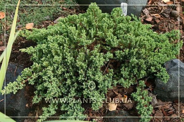 p-32277-juniperus-procumbens-'nana'.jpg
