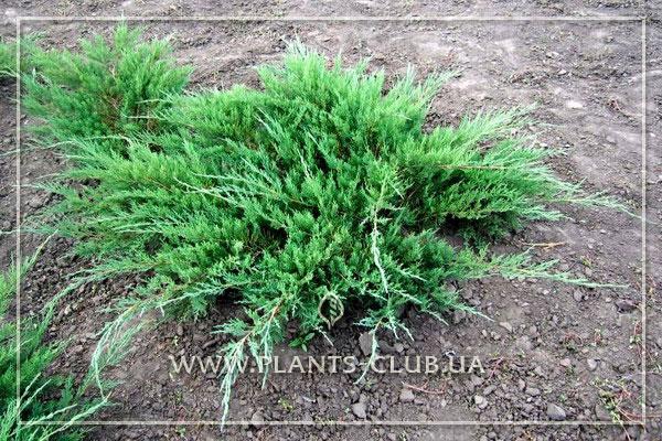 p-32295-juniperus-sabina-glauca.jpg