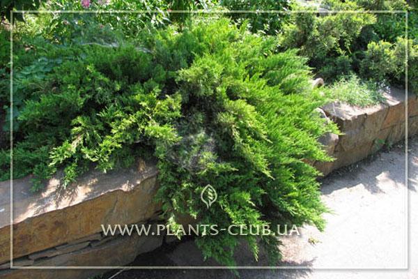 p-32299-juniperus-sabina-'rockery-gem'.jpg