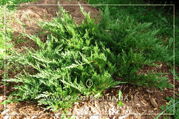 p-32305-juniperus-sabina-'tamariscifolia'.jpg