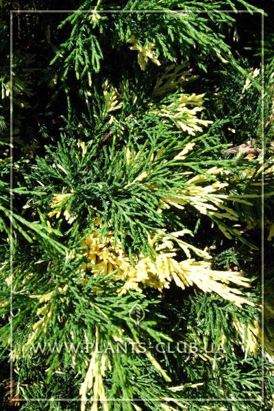 p-32319-juniperus-sabina-'variegata'.jpg