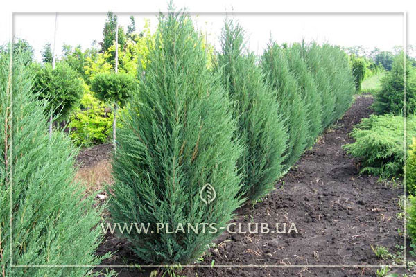 p-32325-juniperus-scopulorum-'blue-arrow'.jpg