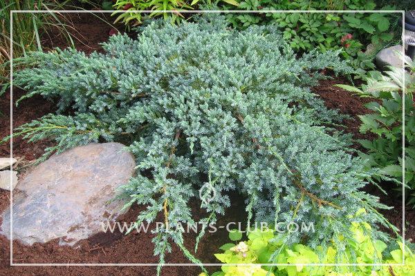 p-32343-juniperus-squamata-'blue-carpet'.jpg
