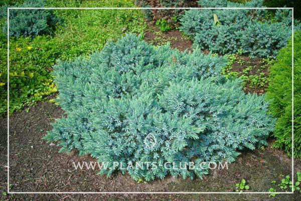 p-32357-juniperus-squamata-'blue-star'.jpg