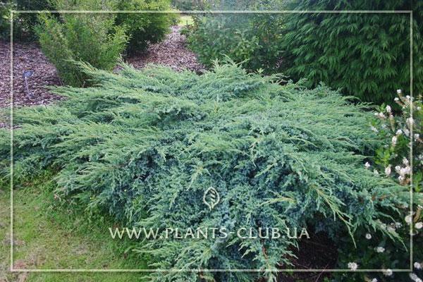 p-32367-juniperus-squamata-blue-swede.jpg