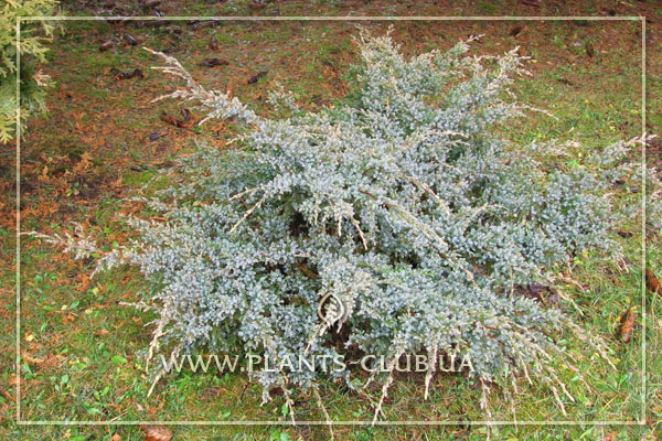 p-32379-juniperus-squamata-'holger'.jpg