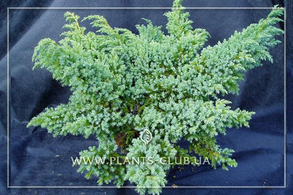 p-32387-juniperus-squamata-'hunnetorp'.jpg