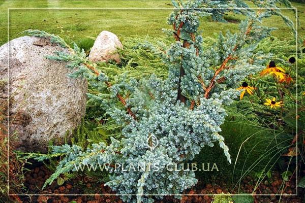 p-32392-juniperus-squamata-'meyeri'.jpg