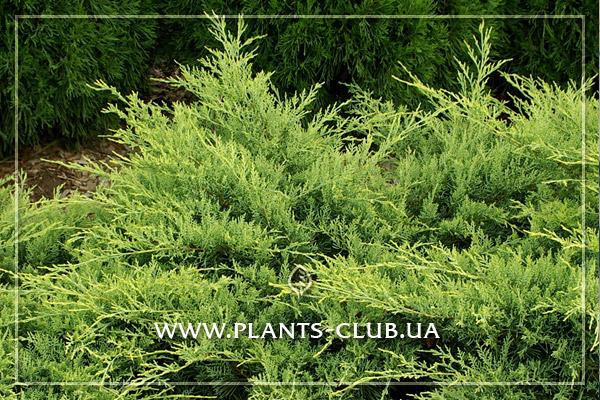 p-32402-juniperus-virginiana-golden-spring.jpg