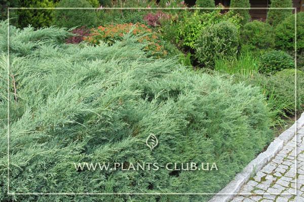 p-32407-juniperus-virginiana-'grey-owl'.jpg