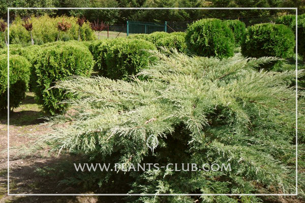 p-32413-juniperus-virginiana-'hetz'.jpg