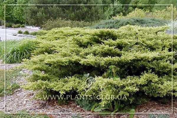 p-32421-juniperus-x-pfitzeriana-'gold-coast'.jpg
