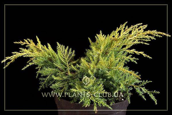 p-32430-juniperus-x-pfitzeriana-'gold-star'.jpg