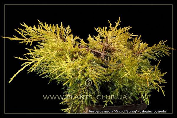 p-32441-juniperus-x-pfitzeriana-'king-of-spring'.jpg