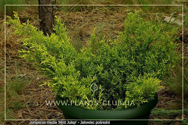 p-32450-juniperus-x-pfitzeriana-'mint-julep'.jpg