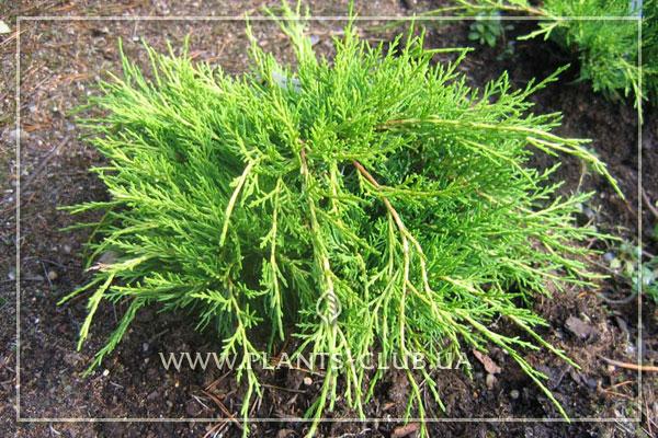 p-32467-juniperus-x-pfitzeriana-'mordigan-gold'.jpg