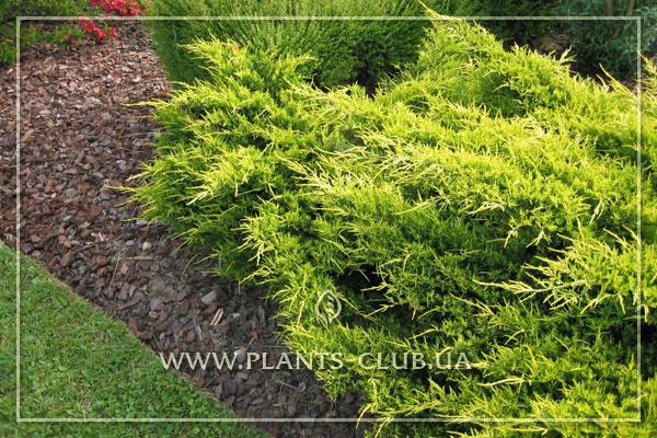 p-32474-juniperus-x-pfitzeriana-'old-gold'.jpg