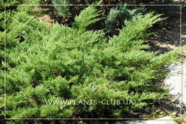 p-32500-juniperus-x-pfitzeriana-'pfitzeriana-compacta'.jpg