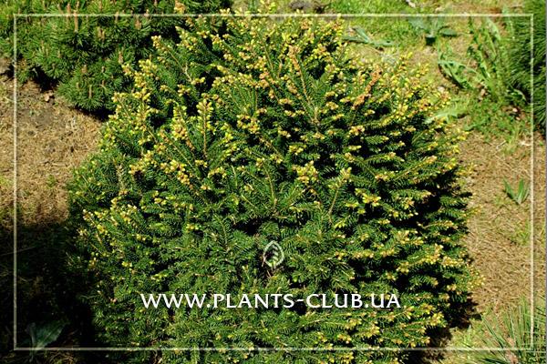 p-32621-picea-abies-pygmaea-3.jpg