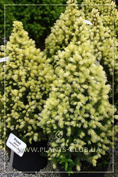 p-32666-picea-glauca-daisys-white-5.jpg