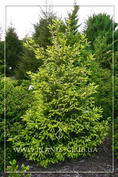p-32749-picea-orientalis-'golden-start'.jpg