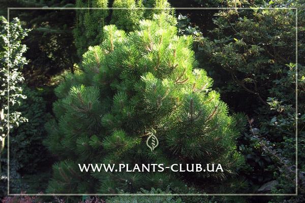 p-32896-pinus_densiflora_alice_verkade.jpg
