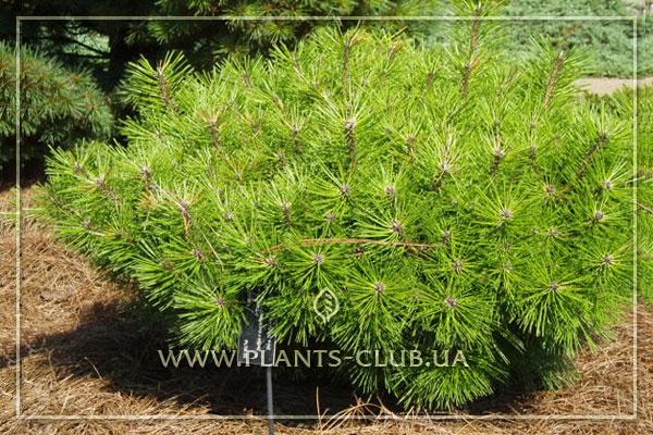 p-32913-pinus-densiflora-'jane-kluis'.jpg