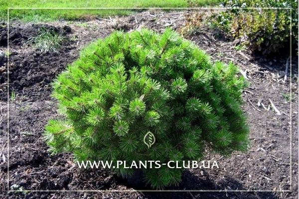 p-32921-pinus-densiflora-low-glow.jpg