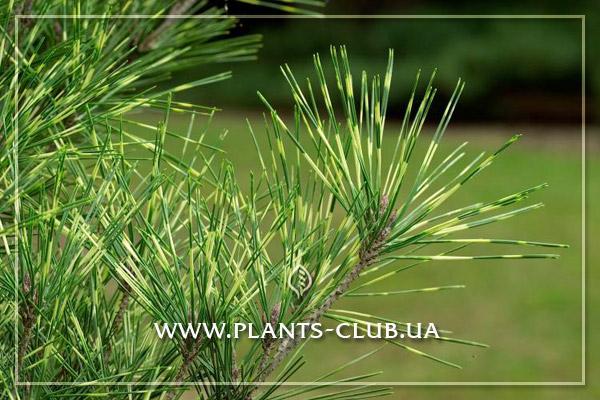 p-32935-pinus-densiflora-oculus-draconis.jpg