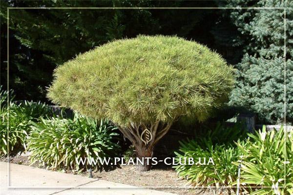 p-32945-pinus-densiflora-umbraculifera-2.jpg