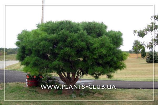 p-32945-pinus-densiflora-umbraculifera.jpg