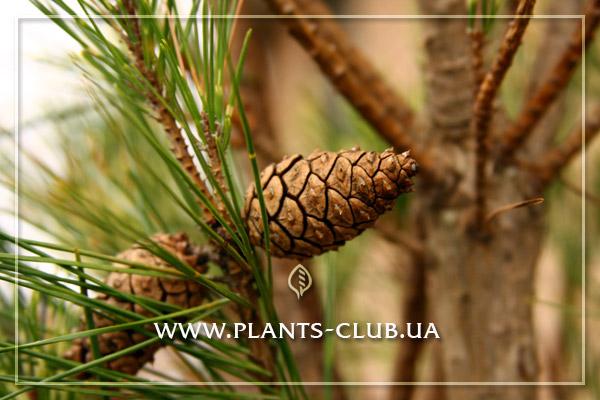 p-32956-pinus_densiflora_1.jpg