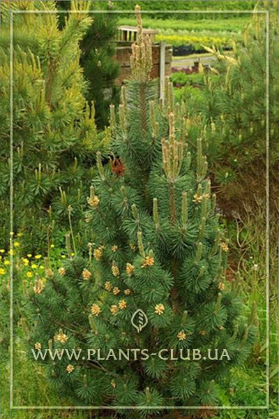 p-33053-pinus-mugo-'columnaris'.jpg