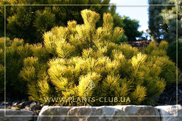 p-33151-pinus-mugo-'winter-gold'.jpg