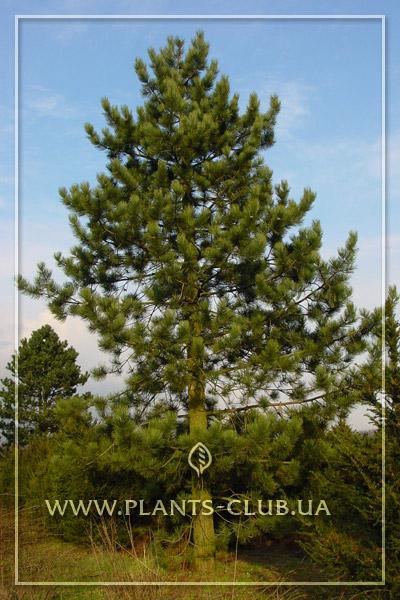 p-33205-pinus-nigra.jpg