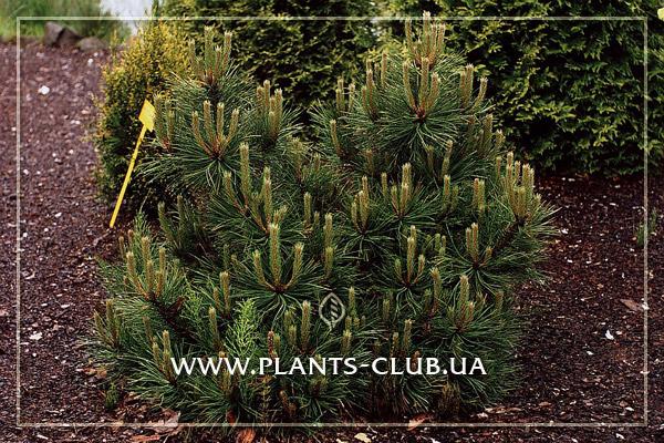 p-33248-pinus_nigra_hornibrookiana8.jpg
