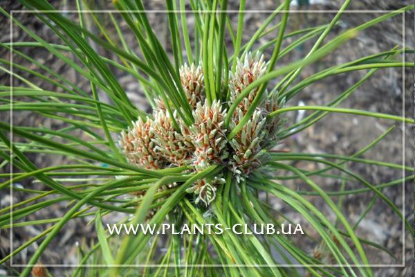 p-33263-pinus-nigra-karaca-ball.jpg