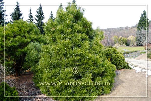 p-33275-pinus-nigra-nana-2.jpg