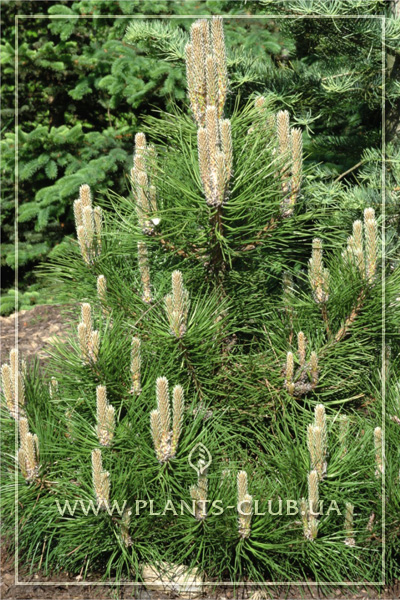 p-33307-pinus-nigra-sycow-2.jpg