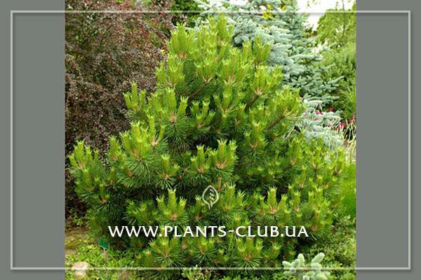 p-33312-pinus-nigra-wurstle-2.jpg