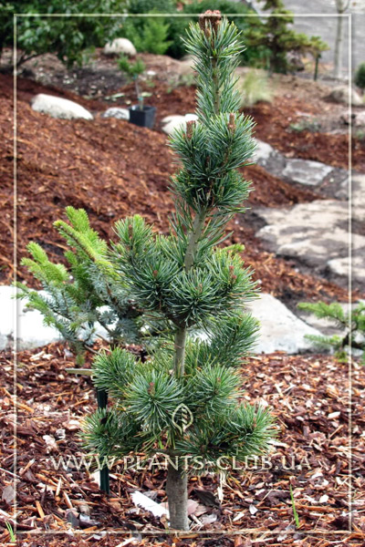 p-33318-pinus-parviflora-de-vr.jpg